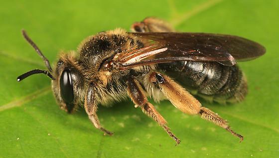 Andrena? - Andrena crataegi