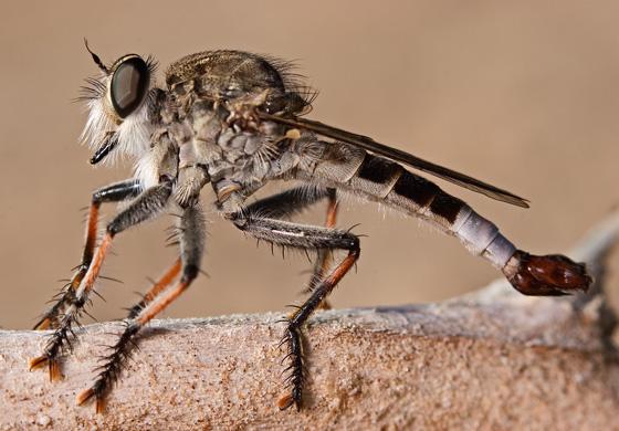 Robber Fly - Efferia albibarbis - male