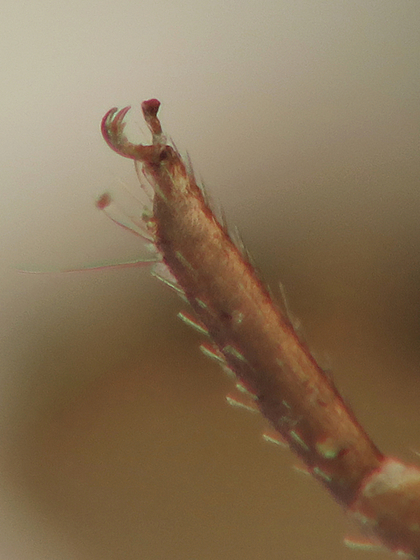 Macro photograph of the tarsal claws on leg IV of a Chelifer cancroides pseudoscorpion.