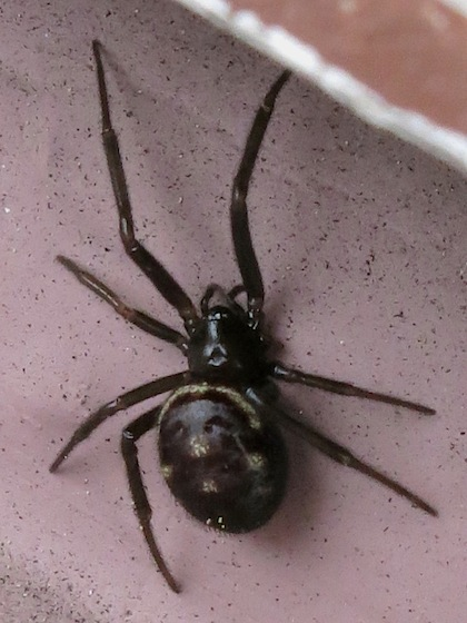 Four spots on abdomen - Steatoda grossa