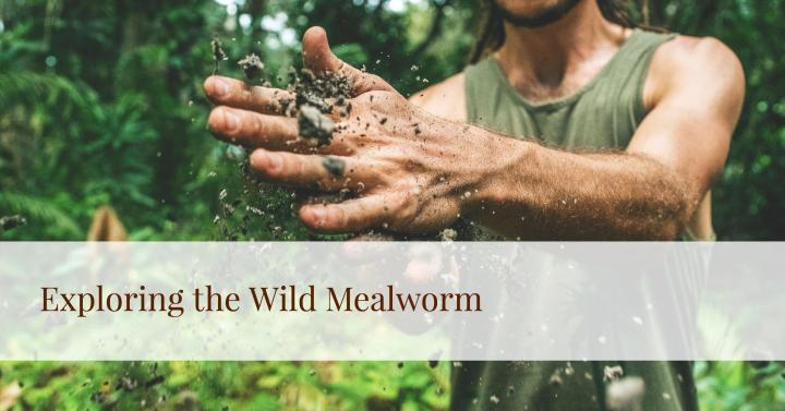 Exploring the Wild Mealworm