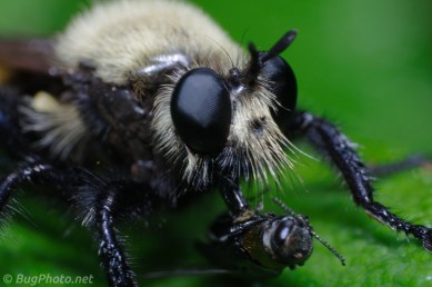 Laphria Bee-like Robber Fly