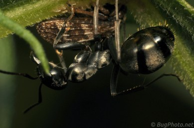 Ant with Planthopper