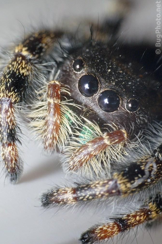 Super close-up of Phiddipus audax jumping spider