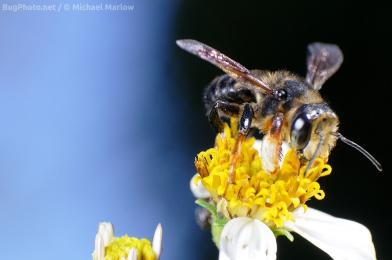 leafcutter_bee_signed_0767_FL1