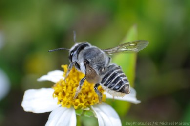leafcutter_bee_signed_1085_FL1