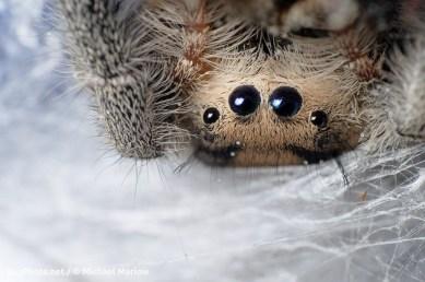 Phidippus regius upside down eyes