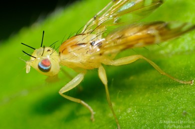 Sunflower Maggot Fruit Fly