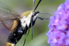 Snowberry Clearwing moth feeding at a butterfly bush
