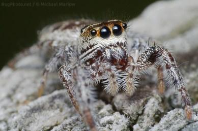 jumping spider possible Pelegrina species