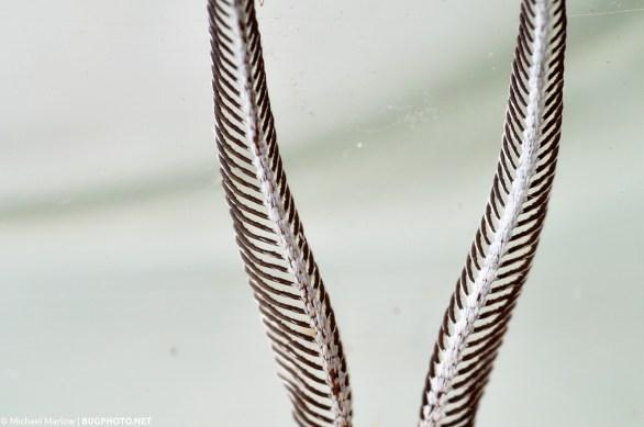 pectinate antennae of male moth original