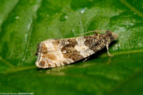 small tortricid moth on green leaf