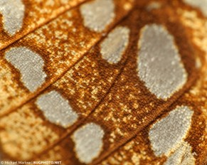 brown, golden, and blue scales of a hickory tussock moth