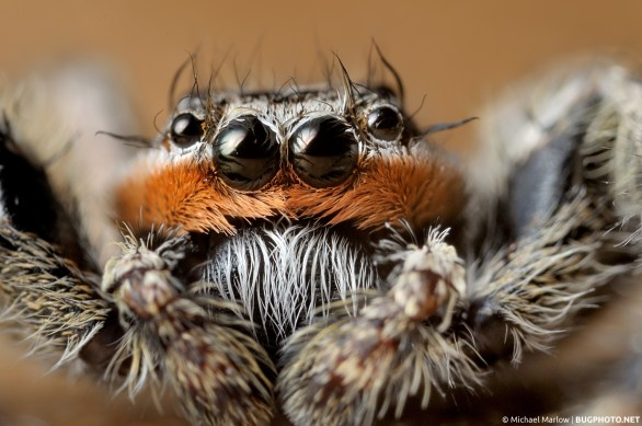 super close-up portrait of Platycryptus undatus make (denoted by orange band on face) jumping spider