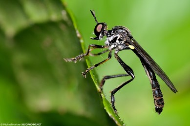 dicotria robber fly almost vertical at edge of a leaf
