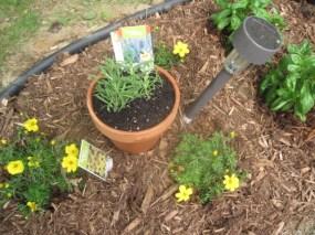 Rosemary in terracotta