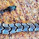 Canebrake Rattlesnake Tim C Elgin TX 102408 Dorsal body