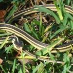 Western Ribbon snake (Thamnophis proximus proximus), Tammy D Santa Fe TX 122209 Body