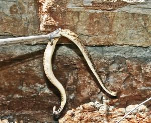 Teachers Rattlesnake