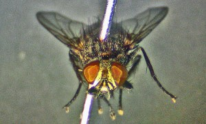 Tachinid Fly anterior