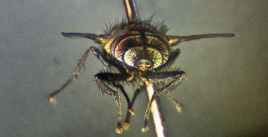 Tachinid Fly posterior