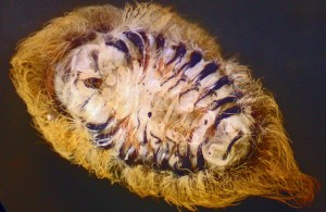 Infected Puss Caterpillar Ventral Surface