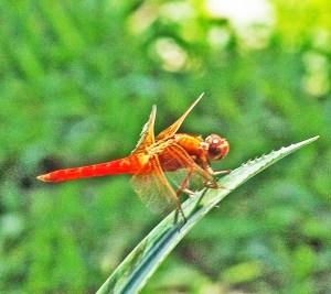 Meadowhawk Dragonfly (Sympetrum spp.) Linda C. Southwest Austin 2005