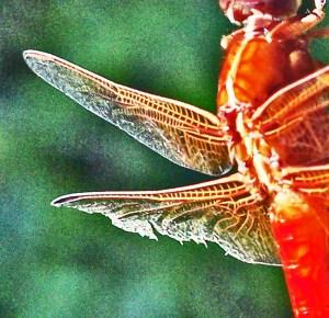 Dragonfly wing venation, Linda C., Southwest Austin TX, 07162005