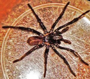Mygalomorph Spider: Marvin W., Kempner, TX--11.12.08: dorsal body