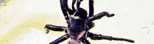 A Male Trapdoor spider in San Antonio, Texas