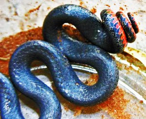 Prairie Ring necked snake Curtis R Sweetwater TX 072808 Dorsal body and tail
