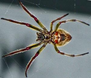 Southern Orbweaver Eriophora ravilla 032710 Andrea G