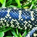 desert king snake