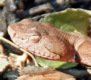 Lateral head, Broad-banded Copperhead, Steve B., Round Rock, TX: 2 July 2009
