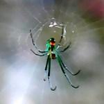 Orchard Orbweaver (Leucauge venusta), Christine, The Woodlands, TX; 08.11.07--Ventral Body, Center of Web