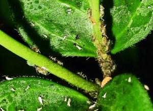 Aphidoidea, Round Rock, Texas, on leaf 040610