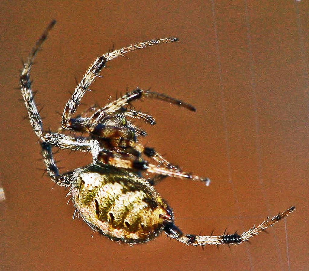 A Female Arabesque Orb Weaver In Lufkin Texas Bugs The News Snake Anatomy Diagram Bugsinthenews