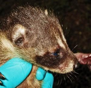 Juvenile Raccoon (Procyon lotor), Denton, Texas--head