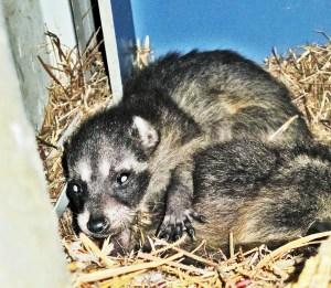 Juvenile Raccoons (Procyon lotor), Denton, Texas--in birthing nest