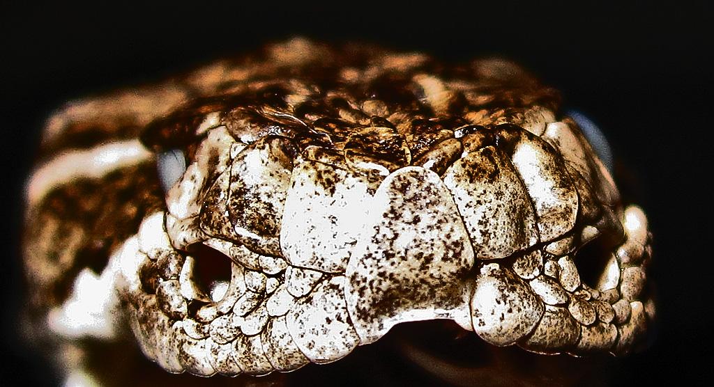 Western Diamond-backed Rattlesnake (Crotalus atrox), 040110, San Antonio, Texas: Martha--Frontal Pits and Rostrum