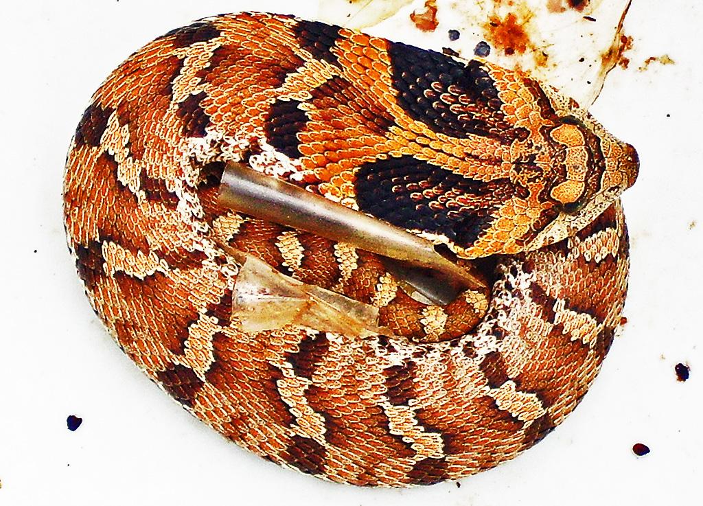 Eastern Hog-nosed Snake (Heterodon platirhinos), 040510, Shirley, Kempner, TX--dorsal body, coiled