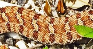 Eastern Hog-nosed Snake (Heterodon platirhinos), 040510, Shirley, Kempner, TX--dorsal midbody