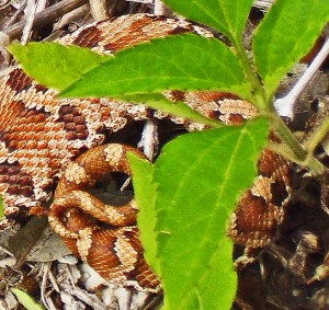 Eastern Hog-nosed Snake (Heterodon platirhinos), 040510, Shirley, Kempner, TX--dorsal posterior
