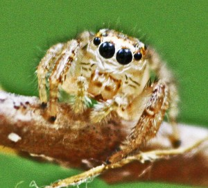 Salticidae, Male; Julia E., East Texas, Frontal head, chelicerae, & palps--04.05.10