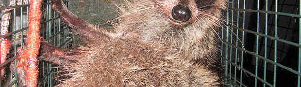 Stopping a Raccoon Invasion of a Commercial Structure in Denton, Texas