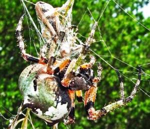 Giant Lichen Orbweaver (Araneus bicentenarius), Dorsofrontal; Becky C., Burnet TX--060510