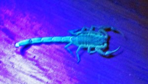 Striped Bark Scorpion (Centruroides vittatus), fluorescing on wood flooring; Cedar Creek, Texas--06.17.10