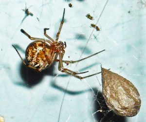 Common House Spider (Achaearanea tepidariorum) female with egg sac; Terri, Silsby TX--08.13.2010