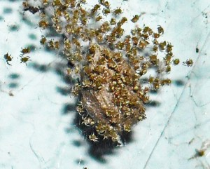Common House Spider (Achaearanea tepidariorum) spiderlings; Terri, Silsby TX--08.13.2010