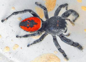 Johnson Jumper (Phidippus johnsoni), Galina Z., Chihuahua, Mexico--2009